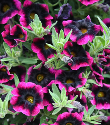"The stunning ""Blackberry Punch,"" which is a new Calibrachoa"