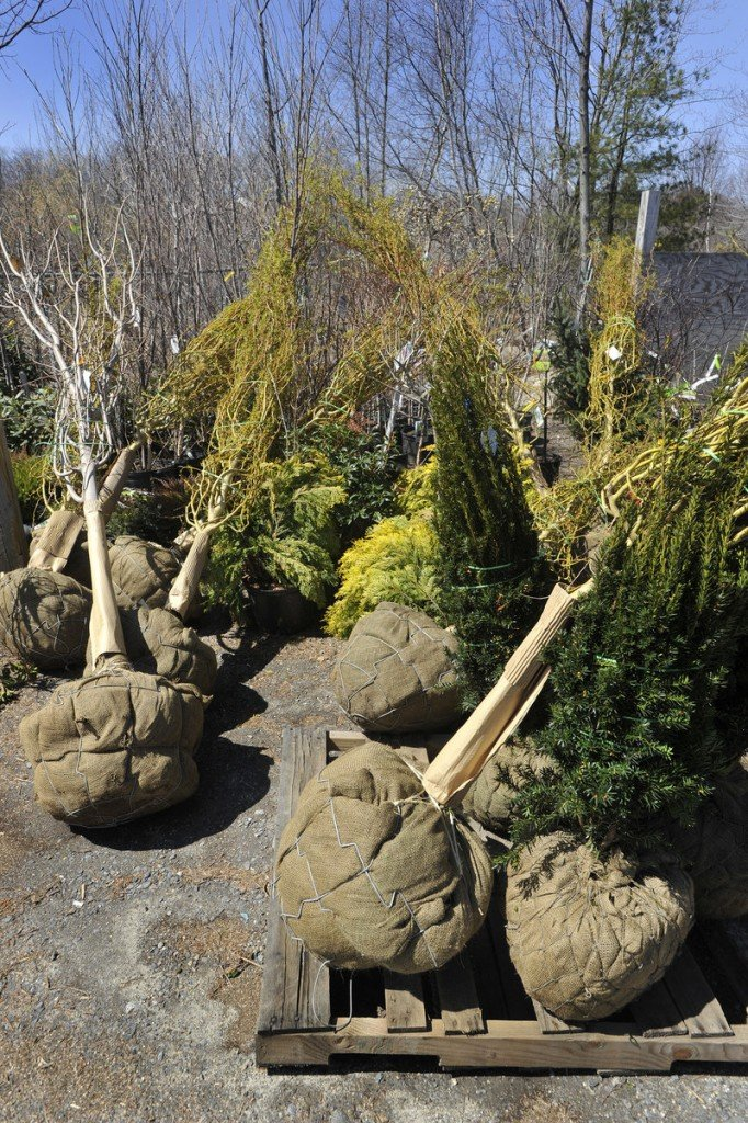 Trees and shrubs, ready for planting, at Broadway Gardens.