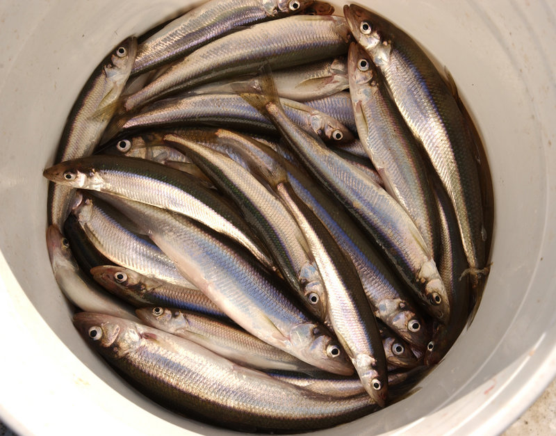 Rainbow smelt are found in Maine's landlocked waterways, inhabiting lakes and ponds, and they also inhabit Maine's saltwater bays and estuaries.
