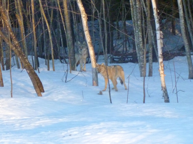 Coyotes visit a backyard in Vassalboro. Those who blame coyotes for the loss of deer are wrong, readers say.