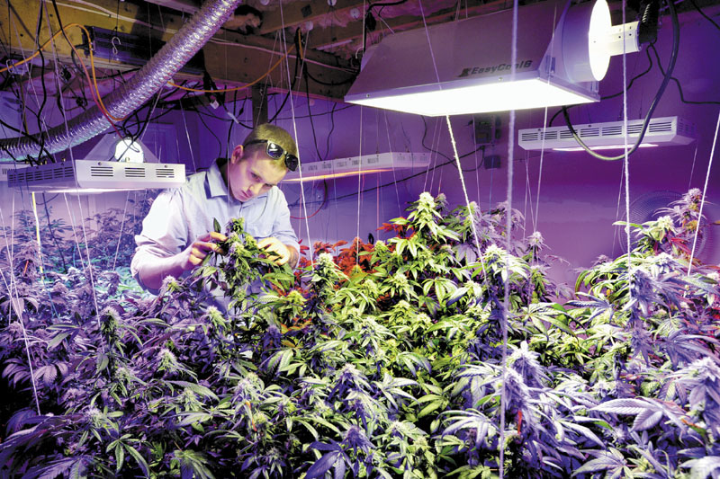 Robert Rosso, a state-licensed medical marijuana grower, inspects one of his plants under multi-colored LED grow lights in his grow room. U.S. Attorney Thomas Delahanty says the feds may go after individuals and groups who engage in