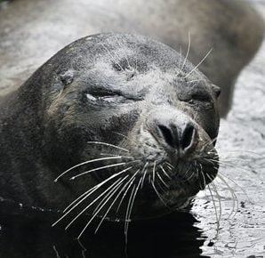 Smoke, one of the oldest harbor seals in captivity in the U.S., swims at the New England Aquarium in Boston Thursday, May 19, 2011. (AP Photo/Elise Amendola)