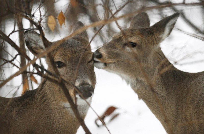 Deer in Maine caught a break in 2009-10 with an easier winter, but the pendulum took a swing toward more difficult conditions for much of the population this past winter.