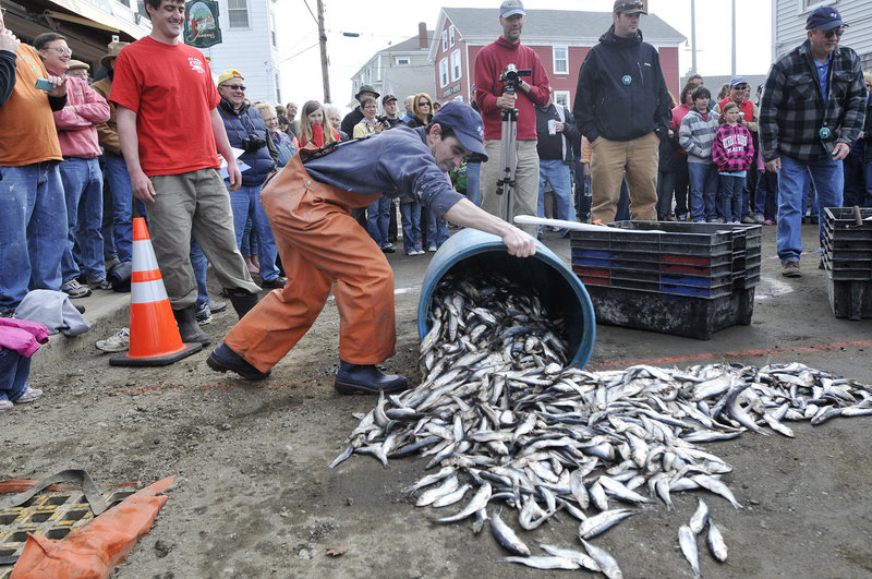Mike Peters of Boothbay dumps fish on the street in preparation for the bait shoveling competition.