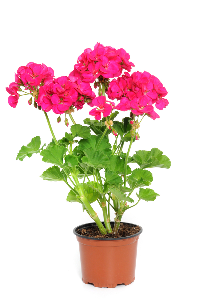 Geraniums are a staple of plant sales.