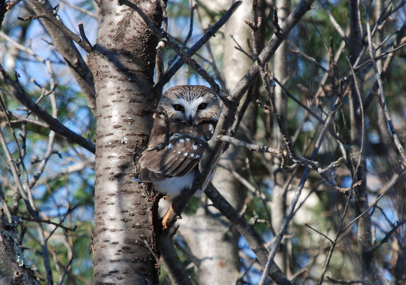 Learn about the owls that live in the Maine woods and experience the thrill of seeing an owl on Friday at 7 p.m. at Viles Arboretum in Augusta.