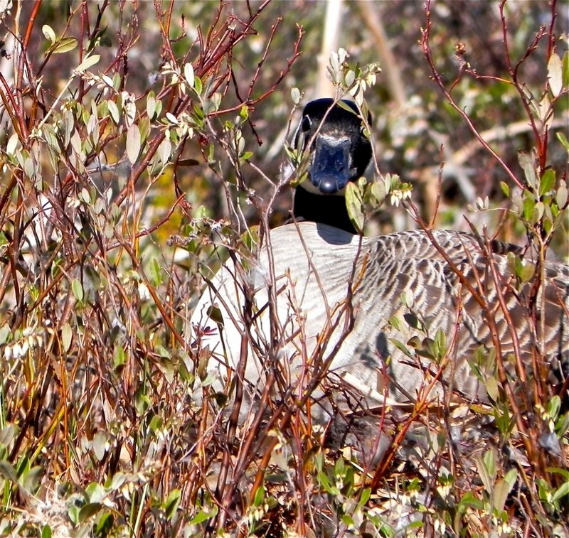 A Canada goose sits on its nest in the area around Lake St. George.