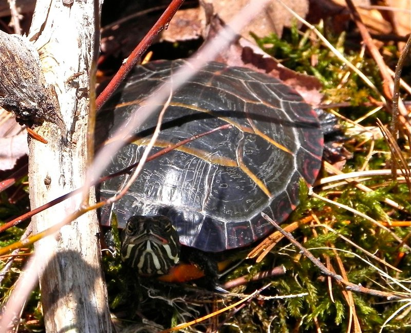 A turtle takes in spring sunshine.