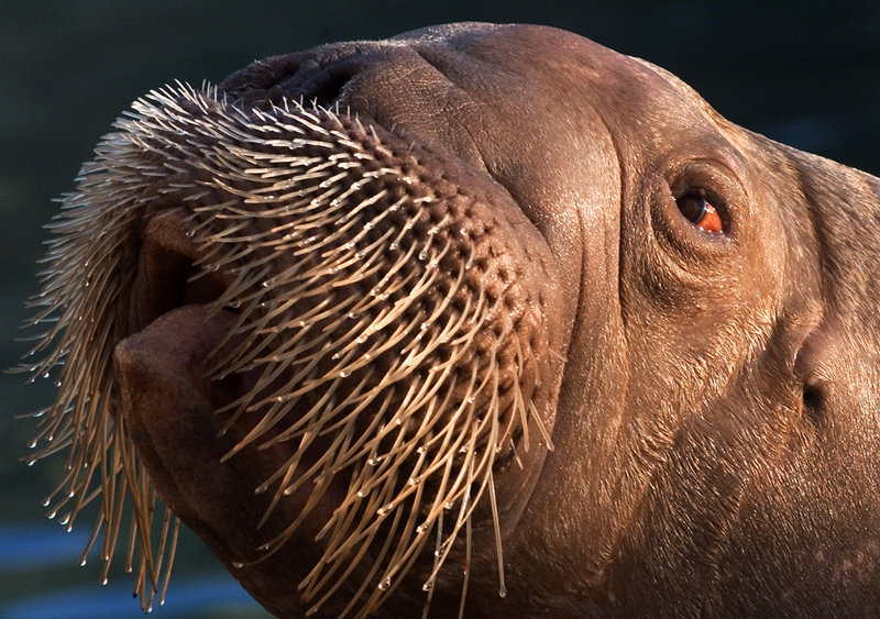 Joan, a female Pacific walrus, basks in the sun at Brookfield Zoo in Chicago. The Pacific walrus is among 251 species that need federal protection, says the WildEarth Guardians group.