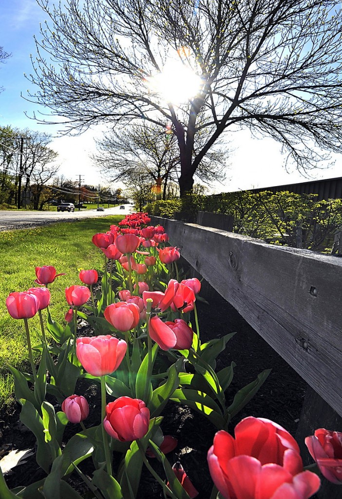 Tulips bloom Thursday along Route 22 in Westbrook as the sun goes down through the trees. More sun is expected today, with temperatures in the 60s, before clouds and showers move in Saturday.
