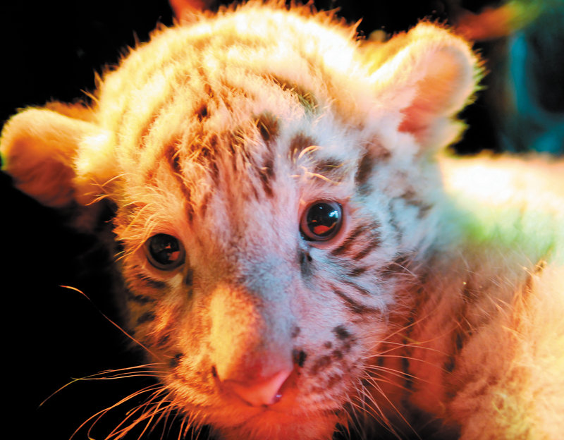 Makeena, a Bengal tiger cub, was given to the DEW Animal Kingdom and Sanctuary by a facility in the southern U.S.