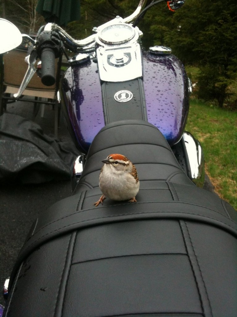 This avian wild child showed up on the new Harley Davidson motorcycle of Sanford's Sherri Whittaker.