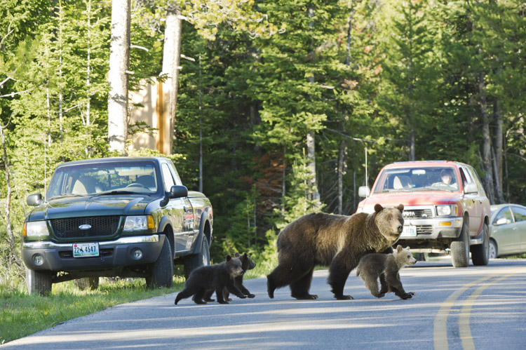 This June 2011 photo shows Grizzly bear No. 399 crossing a road in Grand Teton National Park, Wyo., with her three cubs. The bears are part of a family that's become a tourist attraction because of their frequent appearances near roads. Biologists speculate this behavior keeps at bay adult male bears, which sometimes kill cubs.