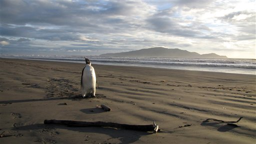 In this June 20, 2011 photo released by New Zealand's Department of Conservation, an Emperor penguin walks along Peka Peka Beach in New Zealand after it got lost while hunting for food. The young Antarctic Emperor penguin has taken a rare wrong turn and ended up stranded on a New Zealand beach. (AP Photo/Richard Gill, Department of Conservation)