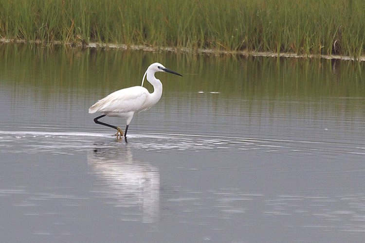 A Little Egret has taken up residence in the Scarborough Marsh and it is the first time a Little Egret has been spotted in Maine. The bird has drawn birders from around Maine as well as New Hampshire and Massachusetts.