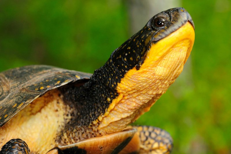 The endangered Blanding's turtle and other threatened wildlife species are of particular concern as volunteers record road kill.