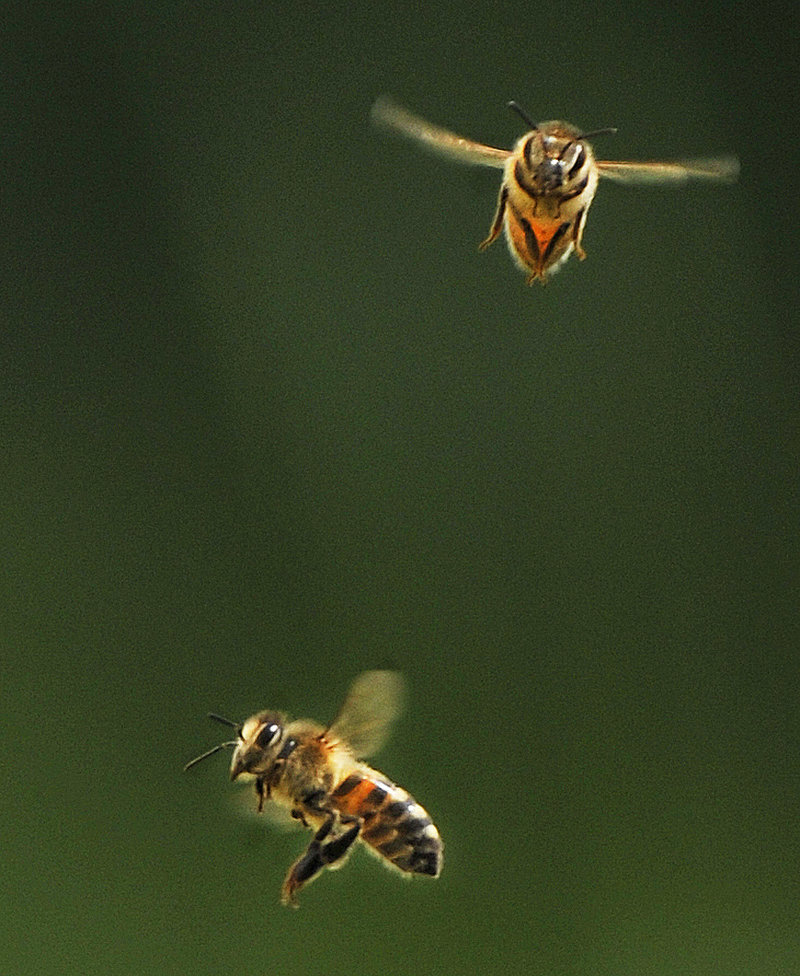 Two of Phil Gaven's bees, being busy.