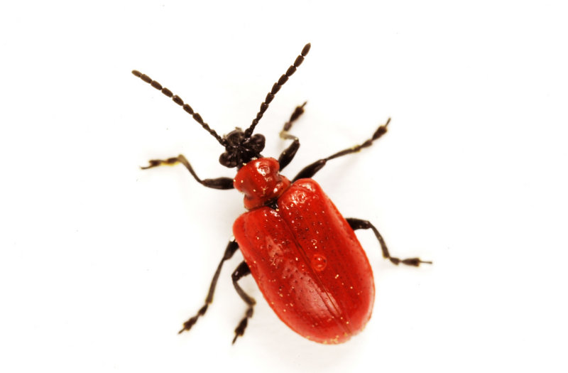 If you know when beetles lay their eggs, you can avoid population explosions the next year.