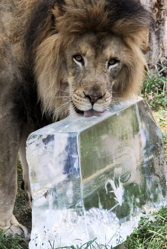 "Zenda, a 5-year-old African lion, keeps cool Wednesday at the Brookfield Zoo in Brookfield, Ill., thanks to a 200-pound block of ice. Meteorologists say the ""heat dome"" over much of the nation is unusually large and longlasting, and may endure for up to 10 days."