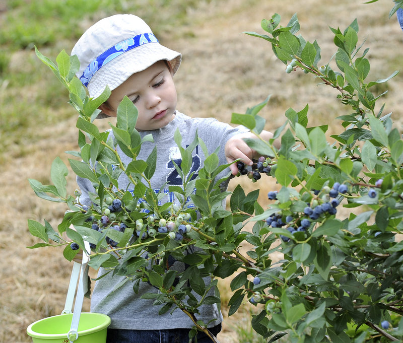 Owen Jolley, 2, picks blueberries with his mother Lindsey on Saturday at Libby & Son U-Picks in Limerick.