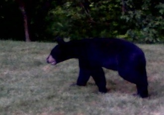 Falmouth police and state wildlife officials are working to relocate this black bear, which was spotted in a west Falmouth neighborhood.