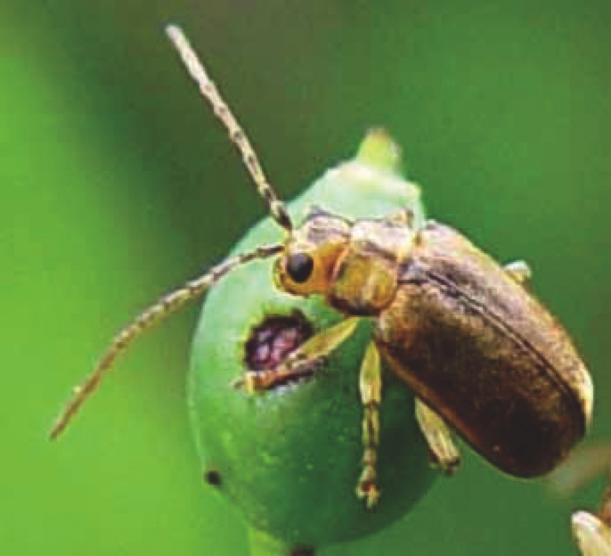 The viburnum leaf beetle, the only cloud on the viburnum horizon. The beetle eats and potentially can kill viburnums, but the good news is that some varieties are resistant to them, and even if yours isn't, there are ways to take on this bug and beat it.