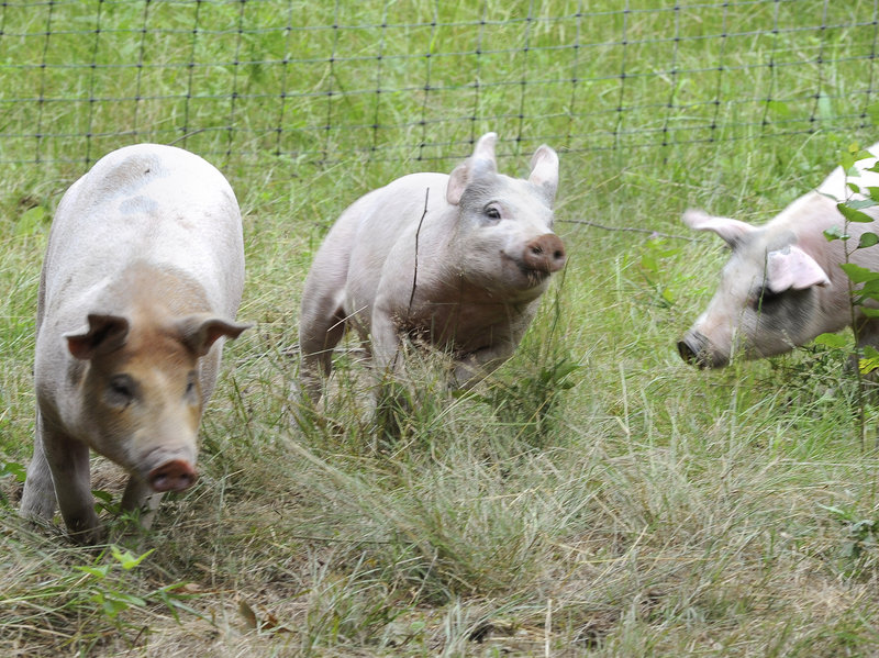 The Miyake Farm in Freeport is also home to chickens, guinea hens, turkeys, ducks and these happy pigs.