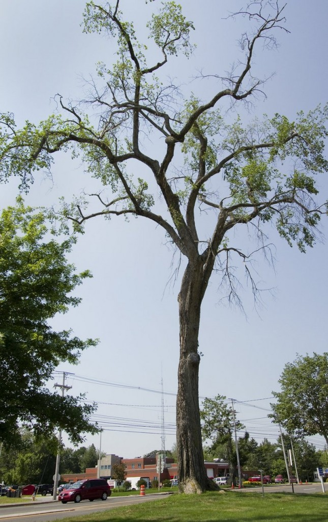 Elsie the Elm on Oak Hill in Scarborough will be cut down Oct. 15.