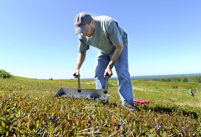 Reporter Ray Routhier puts his back into it, as he uses a rake to pick blueberries at Hart's Clary Hill Farm in Union.