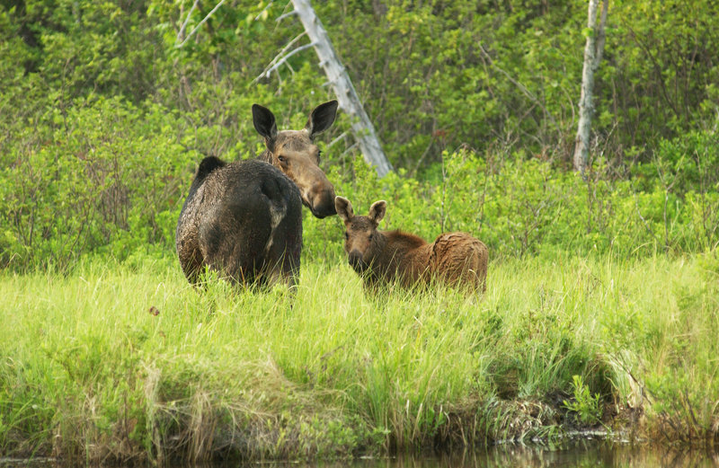 A cow moose and her calf keep a wary eye on passing canoeists on Kidney Pond in Baxter State Park.