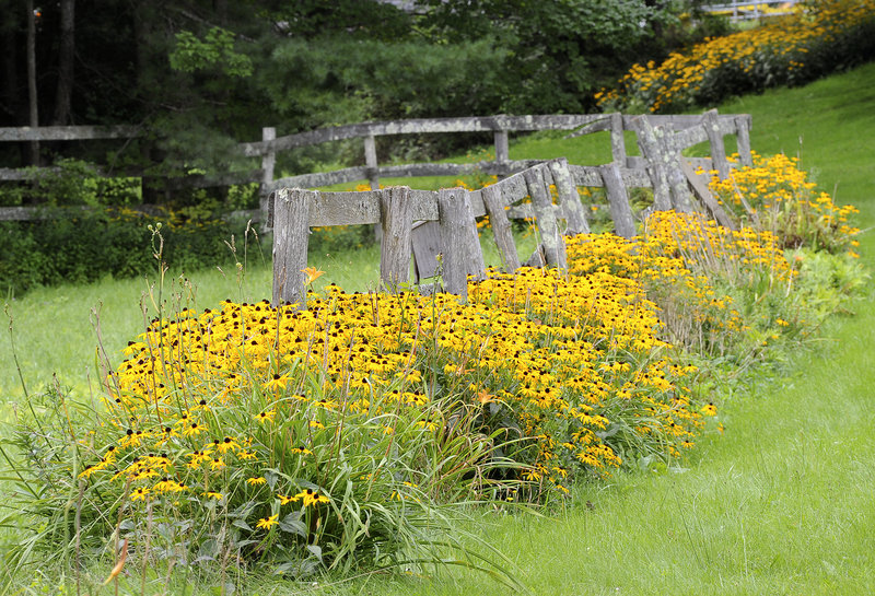 Black-eyed Susans crowd an old fence along Deering Road in Gorham on Wednesday.