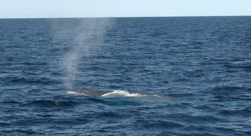 A blue whale surfaces off of Boothbay Harbor on Sunday. Naturalists from two whale-watching boasts say they saw the 80-foot whale, the world's largest mammal, about 15 miles south of Boothbay Harbor.