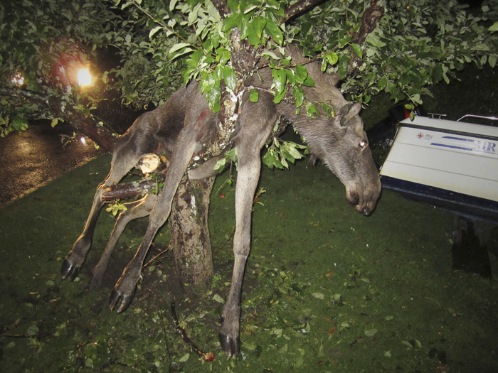 Seemingly intoxicated moose entangled in an apple tree in Goteborg, Sweden.