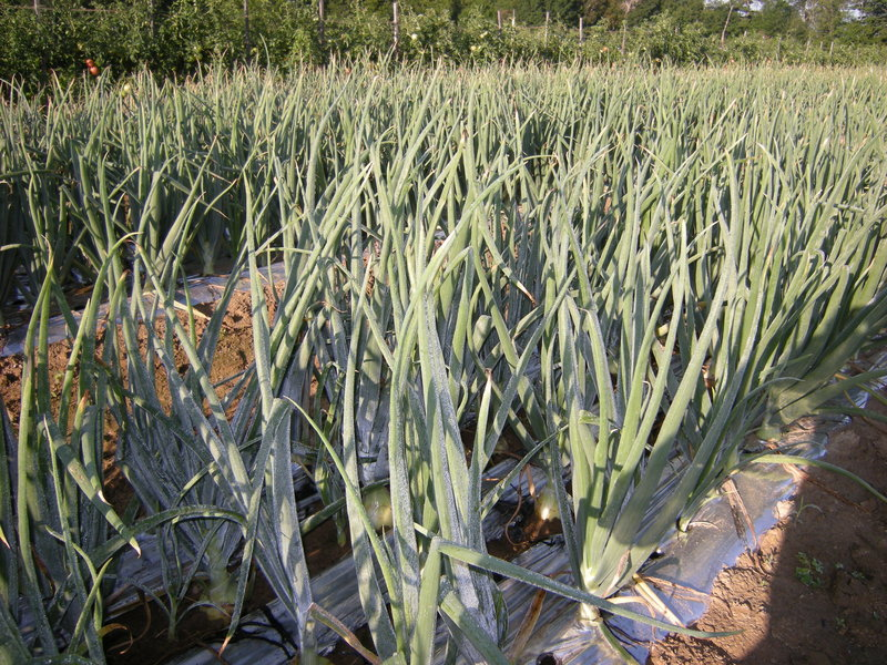 Black plastic mulch helps the onions by keeping the weeds away. But a backyard gardener could easily skip it.
