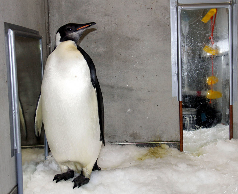 Happy Feet, an emperor penguin, is seen in his room last month at the Wellington Zoo's hospital. The bird was nursed back to health at the zoo after being found on a beach in New Zealand in June.