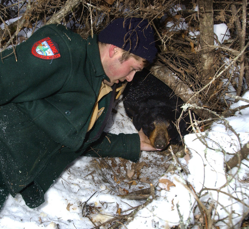 A state biologist prepares to put a new radio collar on a drugged female bear during a past winter den check.