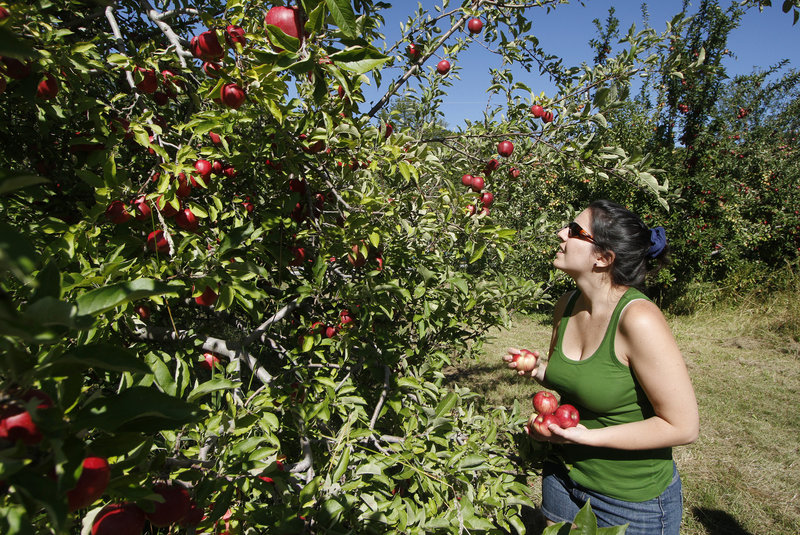 Marjorie Gallant of South Portland picks apples at Terison Apple Orchard in Cumberland.