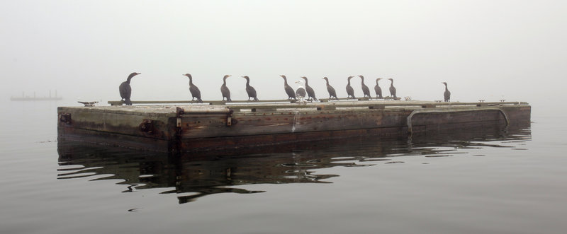 Cormorants gather on a float in Friendship Harbor.