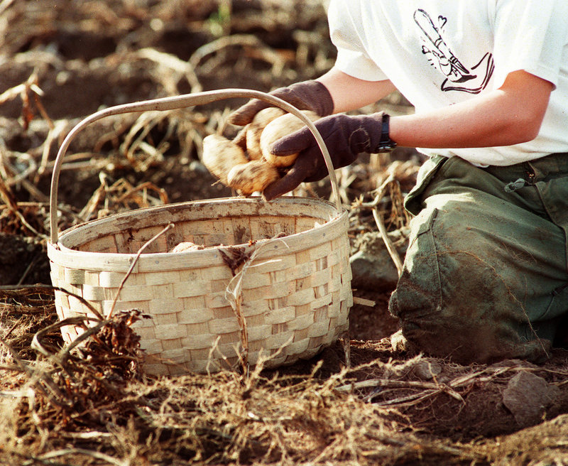 Aroostook County produces mainly all-purpose potatoes, which are good for a mishmash of uses.