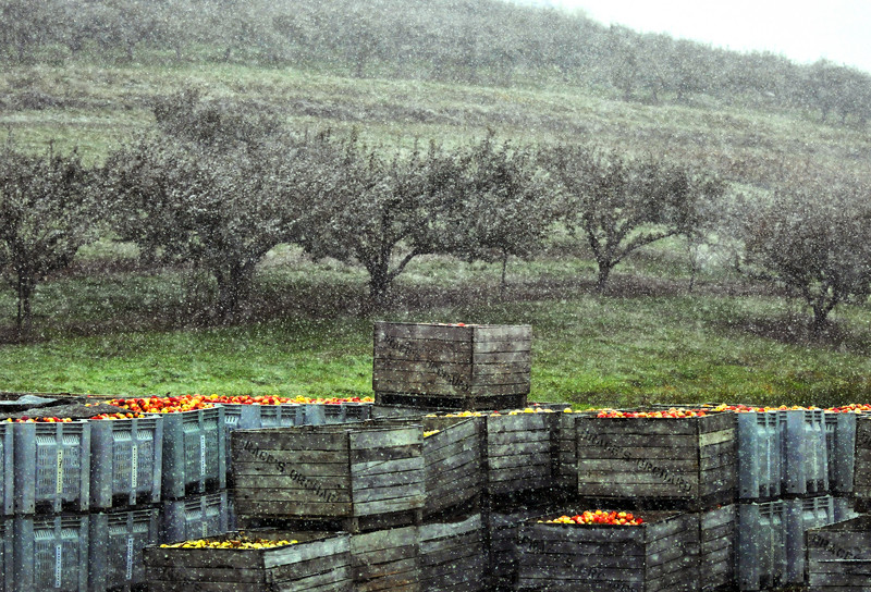 Crates of apples sit as the snow begins to fall at Brace's Orchard. Apple picking ended early in the afternoon due to the snowfall, but the farm was still open to buy, apples, cider, donuts and other treats. 10/25/20111 Aimee Dilger/The Times Leader