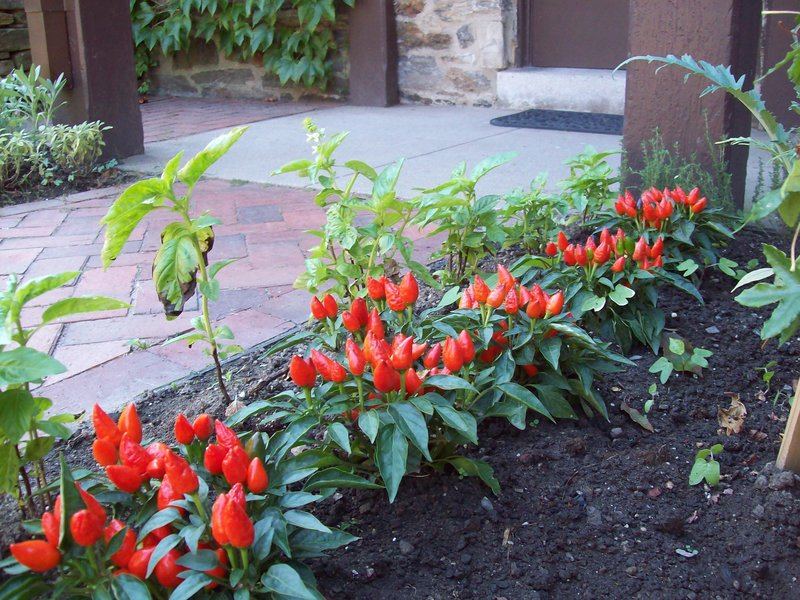 Hot peppers add a dash of color to the kitchen garden at the show house.