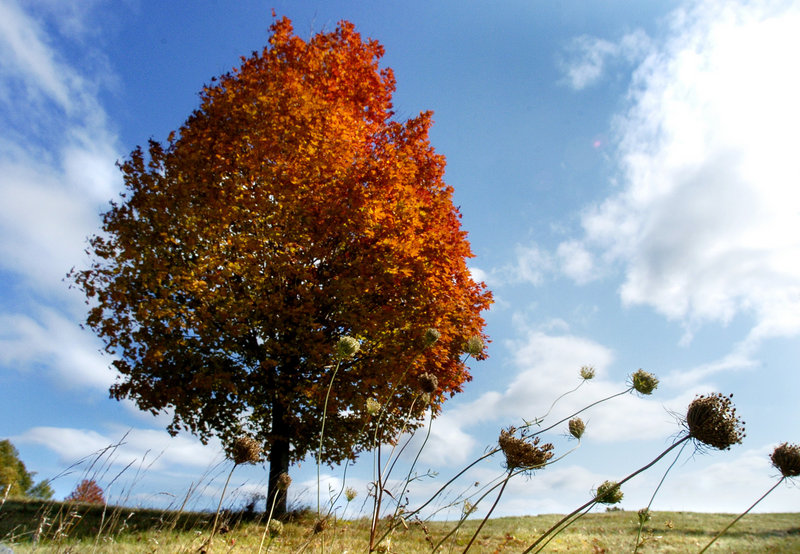 A maple tree's fiery colors glow in the afternoon sun of a Pownal field.