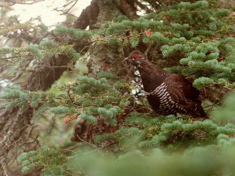 When scouting for grouse, look for the seeds, fruit and trees that provide their favorite meals.