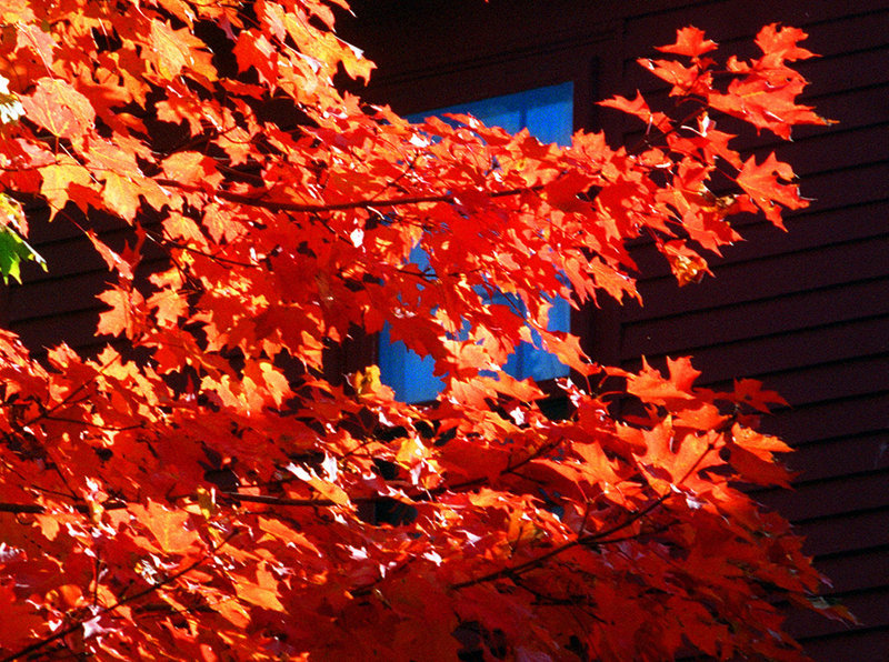 Red maples, like this one in Yarmouth, feed a variety of critters, including deer, hare, moose and songbirds.