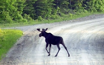In this file photo, a moose crosses a road near Kokadjo, on the eastern side of Moosehad Lake. A small parasite is taking a big bite out of northern New England's moose population.