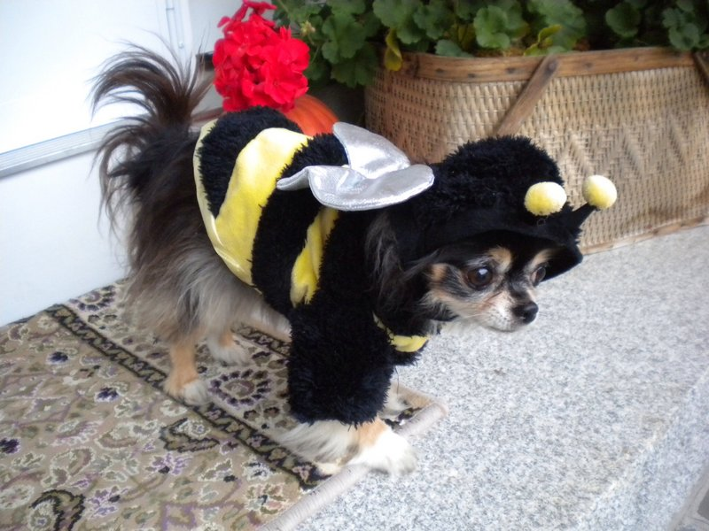Judy, a long-haired Chihuahua owned by Karen Gallagher of North Yarmouth, as a bumblebee.