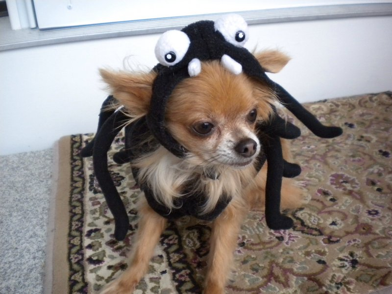 Karen Gallagher's dog Fawn, wearing a spider costume