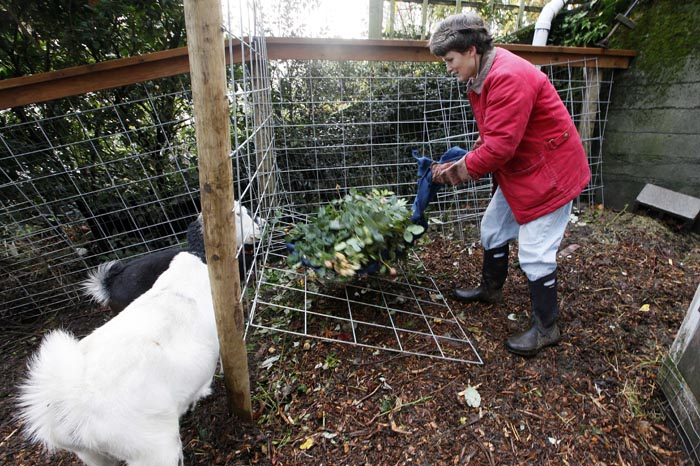 Jennie Grant puts yard cuttings into a holder for the morning feeding of her goats, Snowflake, foreground, and Eloise, at her home in Seattle. No stranger to urban farming, Grant cleared a 20-by- 20-foot patch of her yard, fenced it in, and added a shed, feeding stations, and the goat equivalent of a jungle gym.