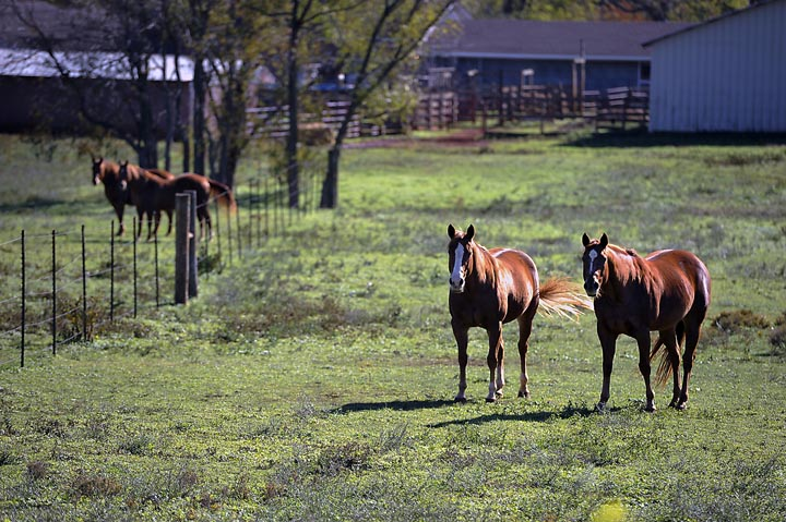 Horses along Texas Highway 7 east of Nacogdoches, Texas. If a new slaughterhouse for horses begins operation, most of the meat would be shipped to countries in Europe and Asia, including France and Japan.