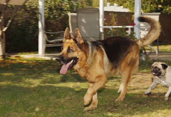 Luis Calderon's German shepherd, Buddy, and his wife's dog, Lola, right, run in El Monte, Calif. Calderon, a self-employed handyman, has a wife and two kids and says if Buddy needed a vet, he'd have to go through public services or use credit.